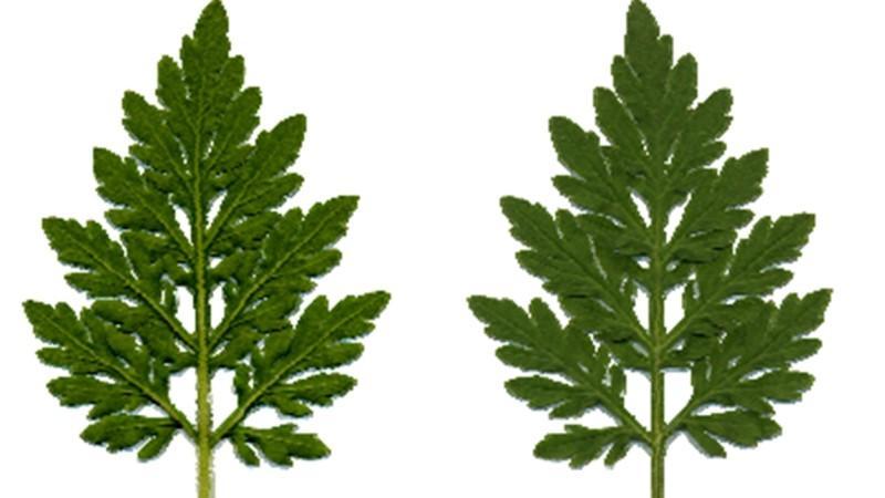 ambrosia pflanze so gef hrlich ist die ambrosia bl te. Black Bedroom Furniture Sets. Home Design Ideas