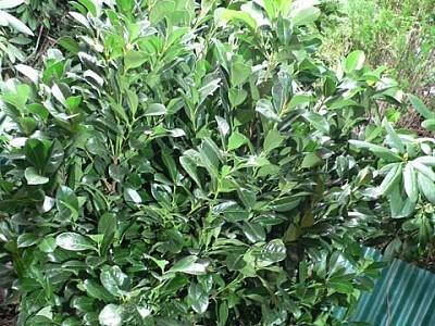 giftige pflanzen im garten gefahr f r kinder und haustiere. Black Bedroom Furniture Sets. Home Design Ideas