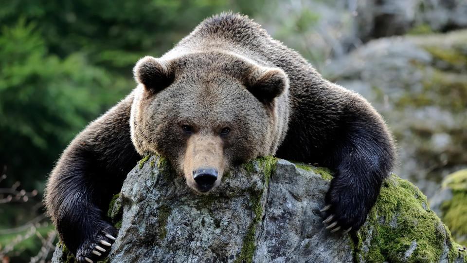 Camper wacht in US-Wildpark im Kopf eines Schwarzbären auf