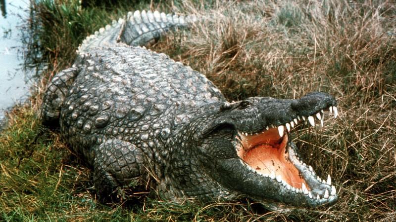 Zwei Krokodile an der Ruhr gesichtet