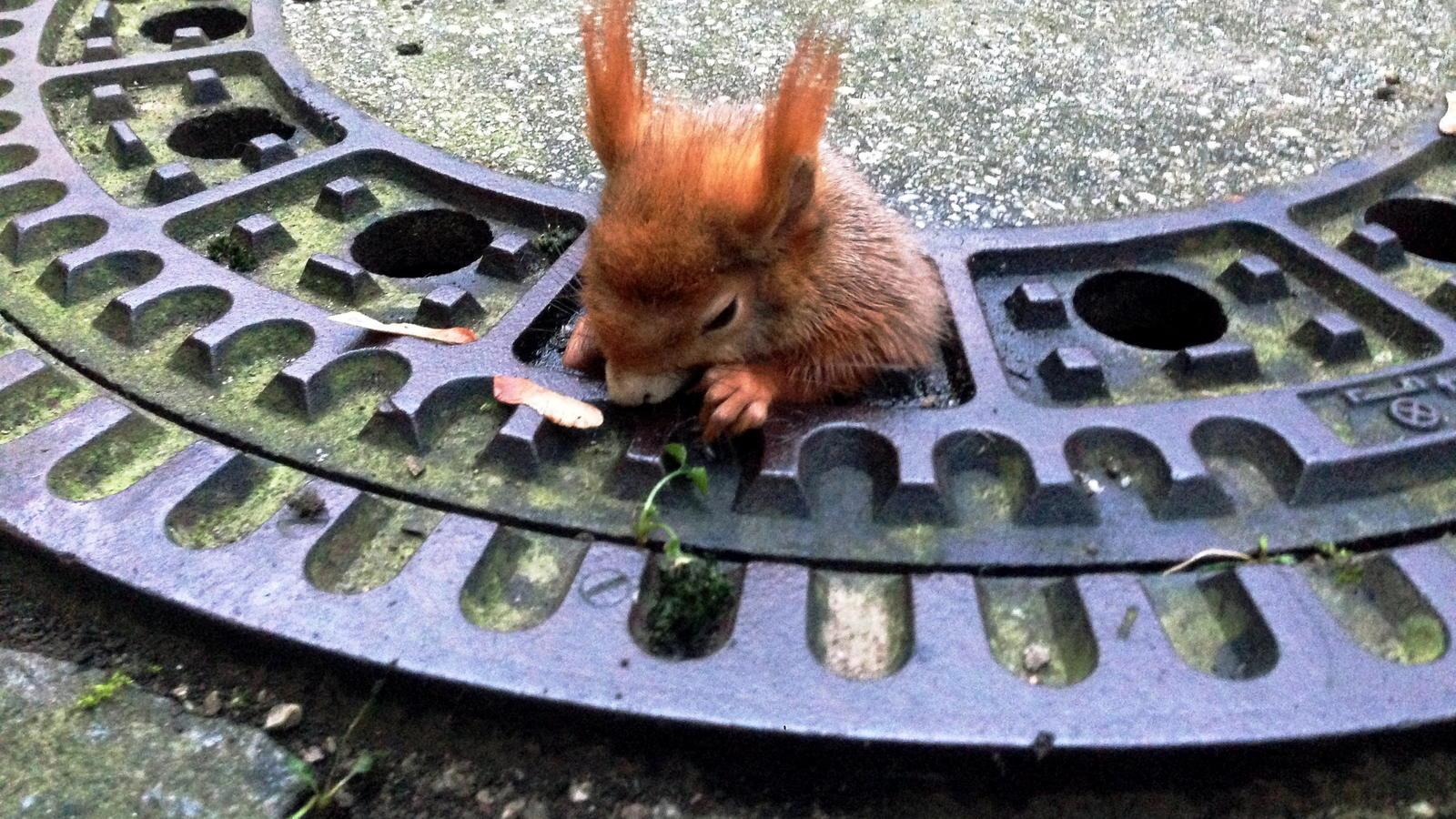 Schon wieder! Eichhörnchen bleibt in Gullydeckel stecken