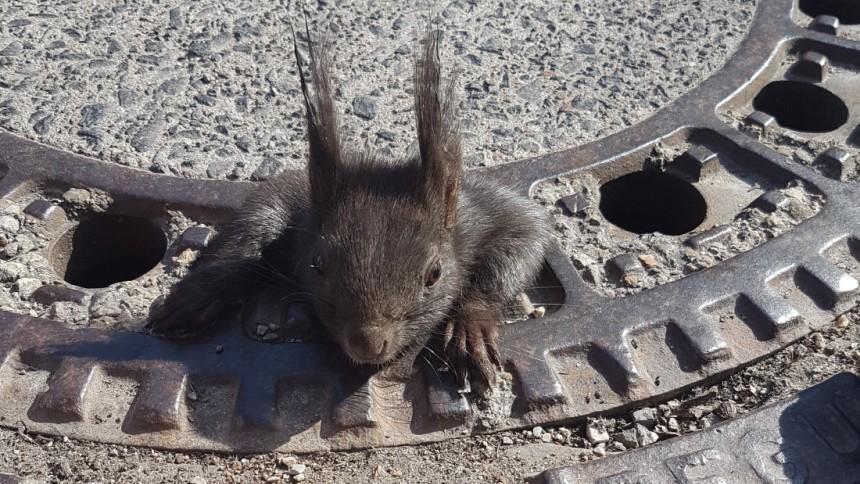 Wieder steckt ein Eichhörnchen im Gullydeckel fest