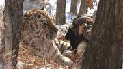 Ziege und Tiger
