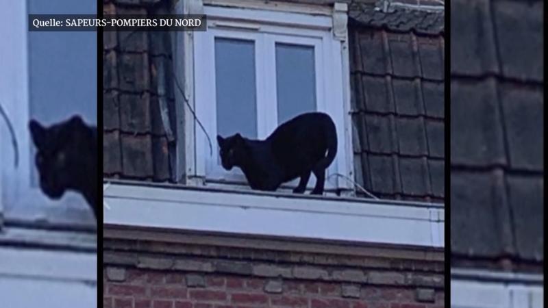 Frankreich: Schwarzer Panther schleicht durch Kleinstadt