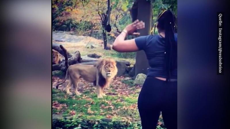 Lebensgefährlich!: Frau steigt im Zoo über Zaun und provoziert Löwen