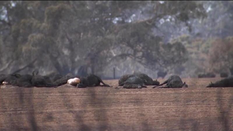 Und das sind nur die Säugetiere Vögel und Reptilien Eine halbe Milliarde Tiere verbrannte in den australischen Feuern