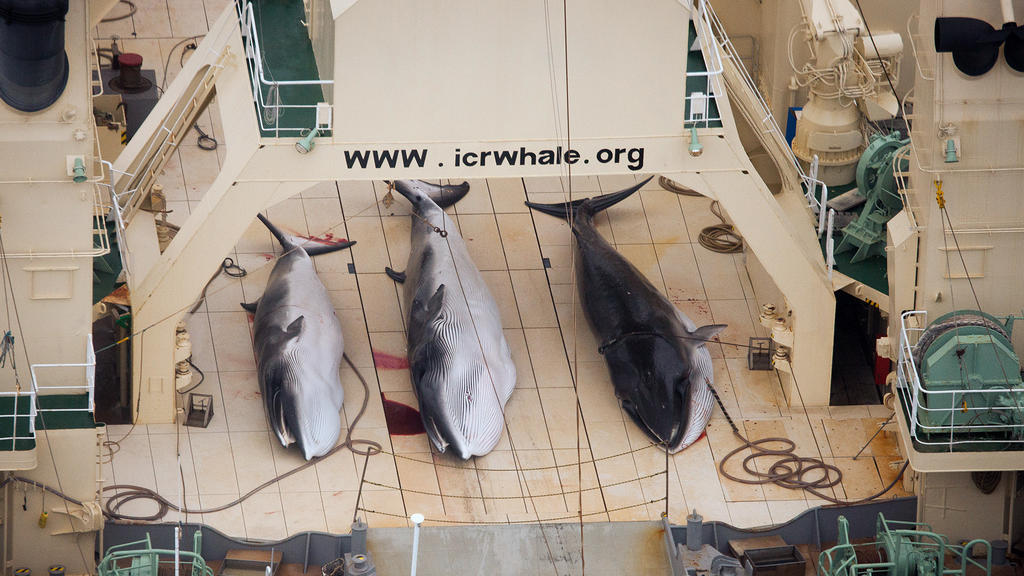 epa04262148 (FILE) A handout image by Sea Shepherd Australia made available on 07 January 2013 shows three dead protected Minke Whales on the deck of the Japanese Ship, Nisshin Maru in the Southern Ocean, Antarctica, 05 January 2013. The Japanese Fis