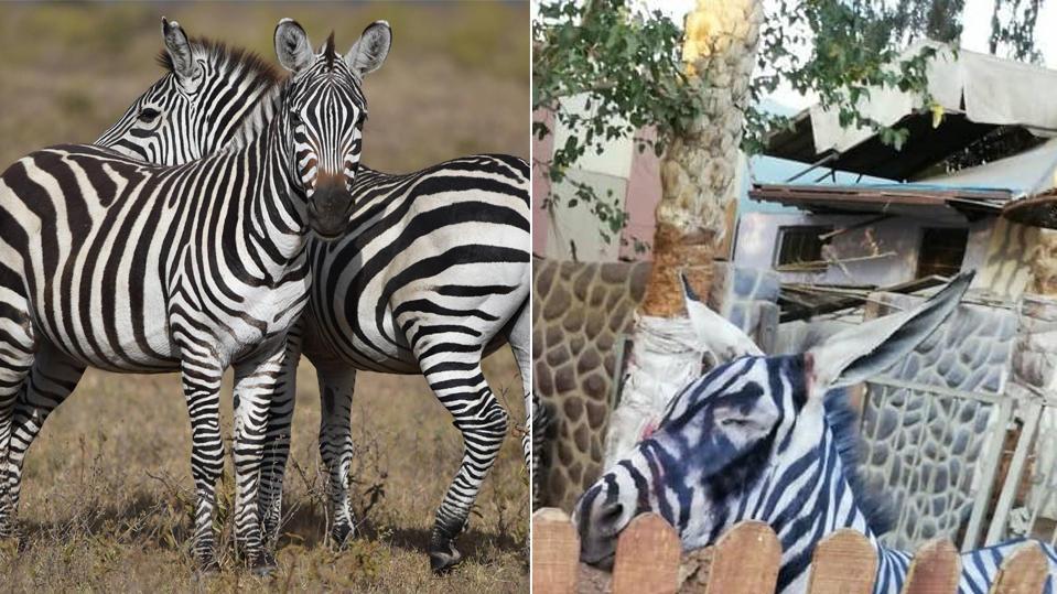 Im Vergleich: Links im Bild ein Zebra - rechts im Bild der mutmaßliche Esel aus dem Zoo in Kairo.