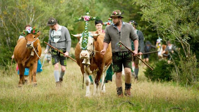 Bauern treiben geschmückte Kühe