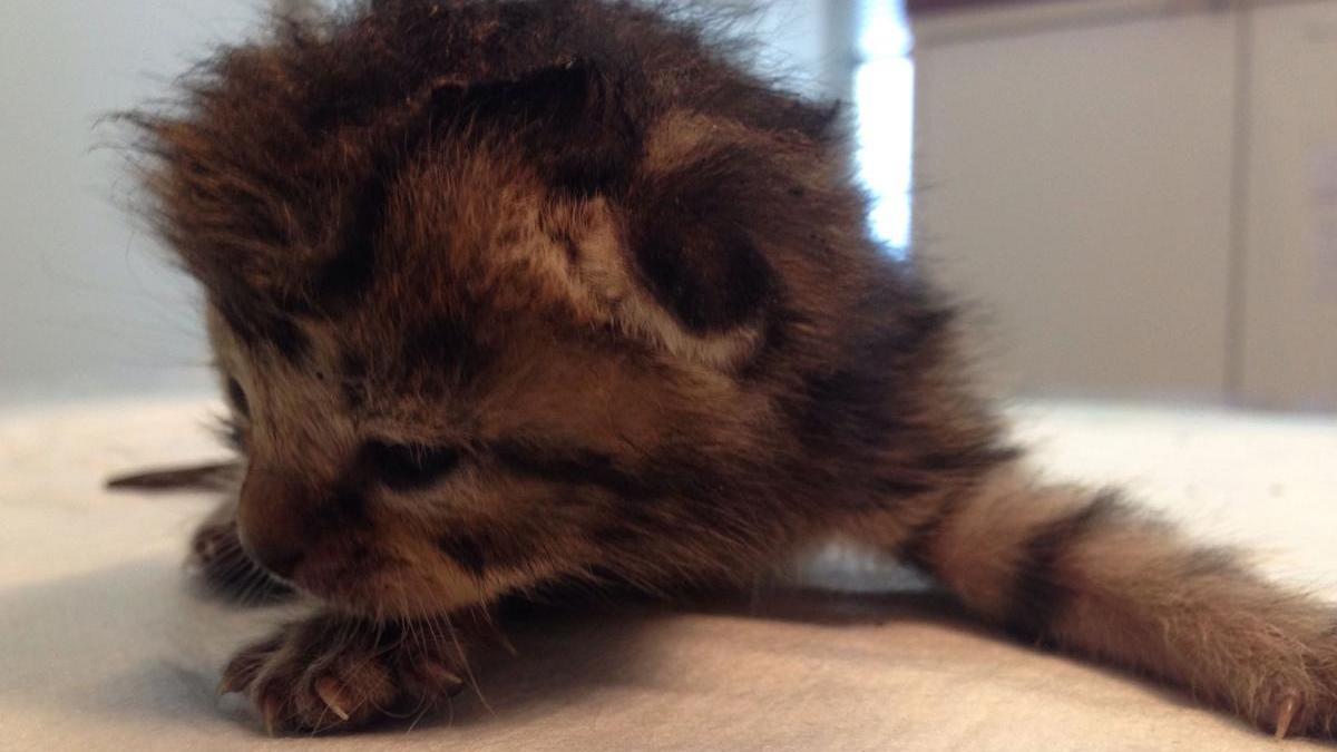 Polizisten riefen die Tierrettung München, die das Tier erstversorgten. Nun ist das Kätzchen in der Obhut der Chirurgischen Kleintierklinik München.