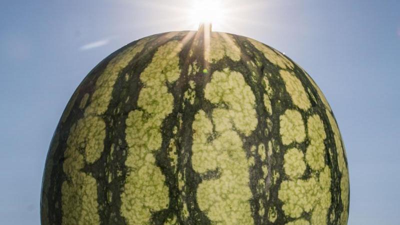 Die Stunden unserer Wassermelone sind gezählt - sie wird mit Gummibändern zum Platzen gebracht