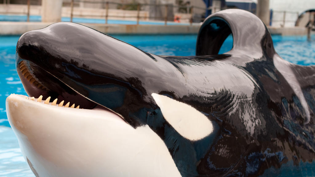 Orca mit abgeknickter Flosse