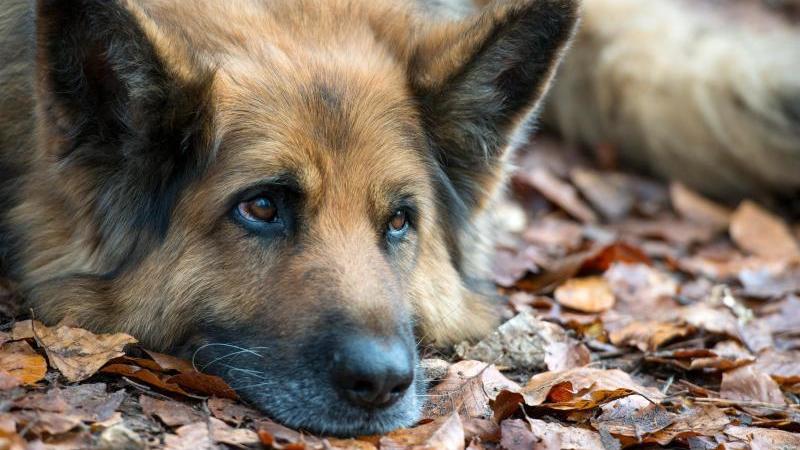 Ein Deutscher Schäferhund liegt auf dem Boden