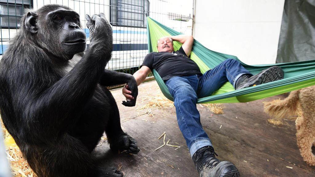 """21.09.2018, Niedersachsen, Visselhövede: Klaus Köhler, Direktor des Zirkus """"Belly"""", liegt in einer Hängematte während Schimpanse """"Robby"""" ihn schaukelt. Seit mehr als 40 Jahren lebt das Tier im Zirkus. Foto: Carmen Jaspersen/dpa +++ dpa-Bildfunk +++"""
