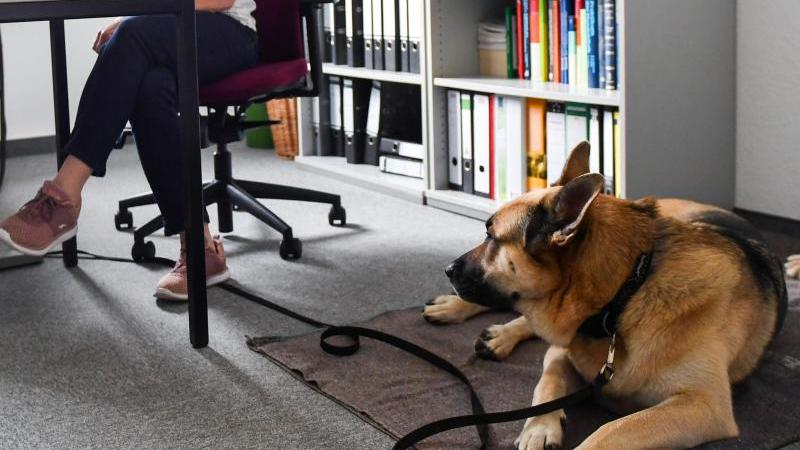 Husky-Schäferhund-Mischling Kalle liegt im Büro seines Frauchen auf einer Decke.Foto: Jens Kalaene/Archiv