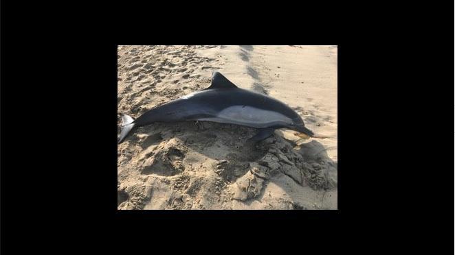 Delfin am Strand von Kalifornien (USA) erschossen.