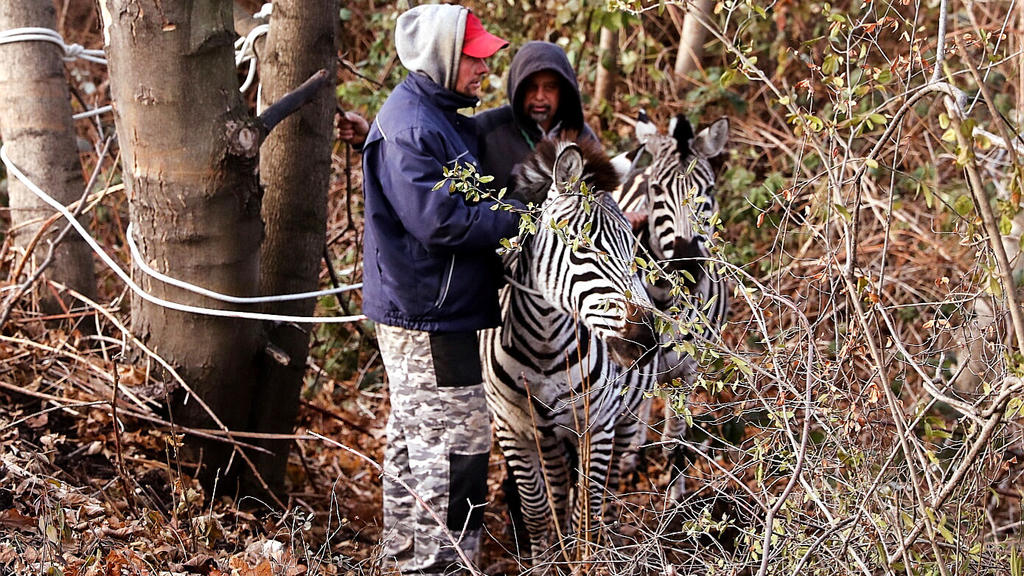 """Dresden: Zwei Männer fangen zwei Zebras ein, die aus dem """"Dresdner Weihnachtscircus"""" entlaufen sind."""