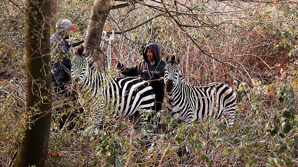 Sachsen, Dresden: Zwei Männer fangen zwei Zebras ein, die aus dem «Dresdner Weihnachtscircus» entlaufen sind. Der Weihnachtszirkus hat sein Quartier am Dresdner Elbufer aufgeschlagen. Vier seiner Zebras zog es in die Stadt