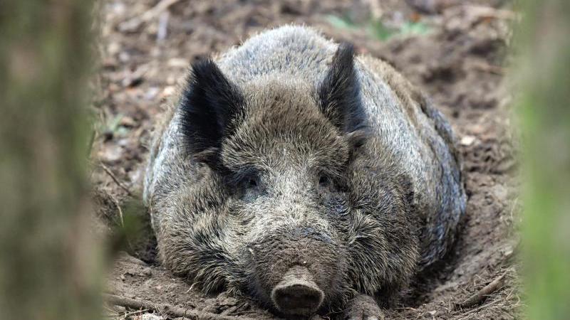 Wildschweine haben einige Tricks auf Lager. Bei Hitze wühlen die Borstentiere gerne in matschigen Pfützen