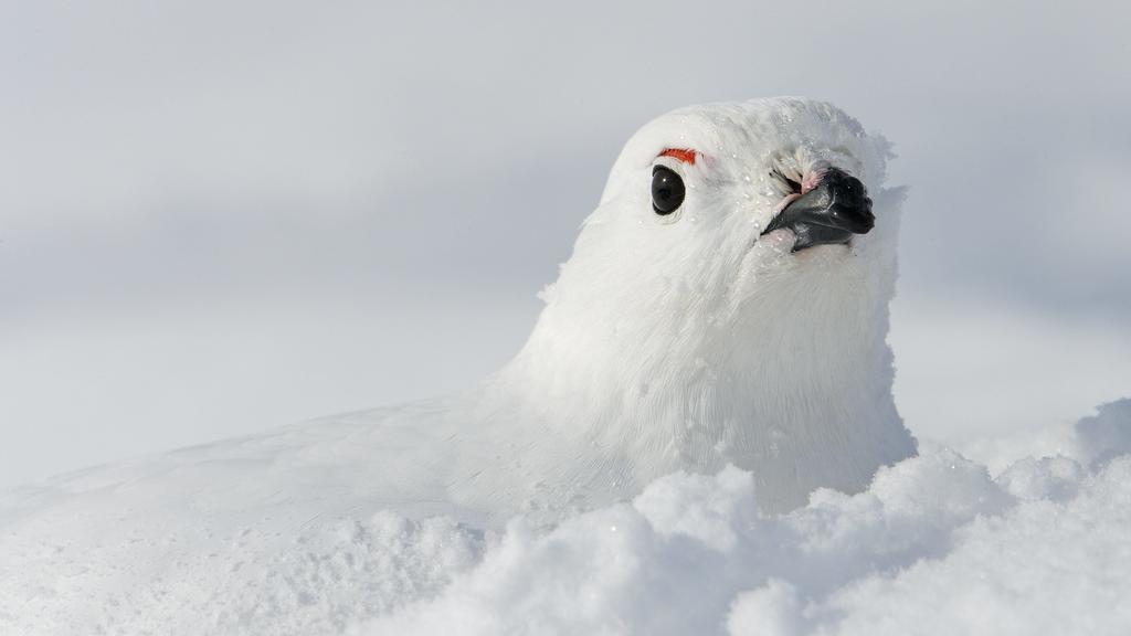 Eingeschneites Alpenschneehuhn