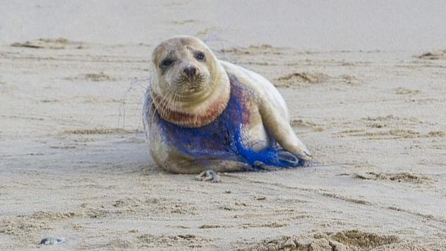 Ein Plastiknetz hat sich tief in den Hals dieses Seehund-Weibchens gefressen.