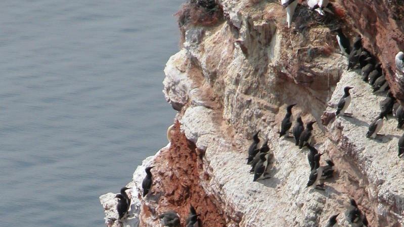 Innerhalb kürzester Zeit wurden Tausende tote Trottellummen an der niederländischen Nordseeküste angespült.