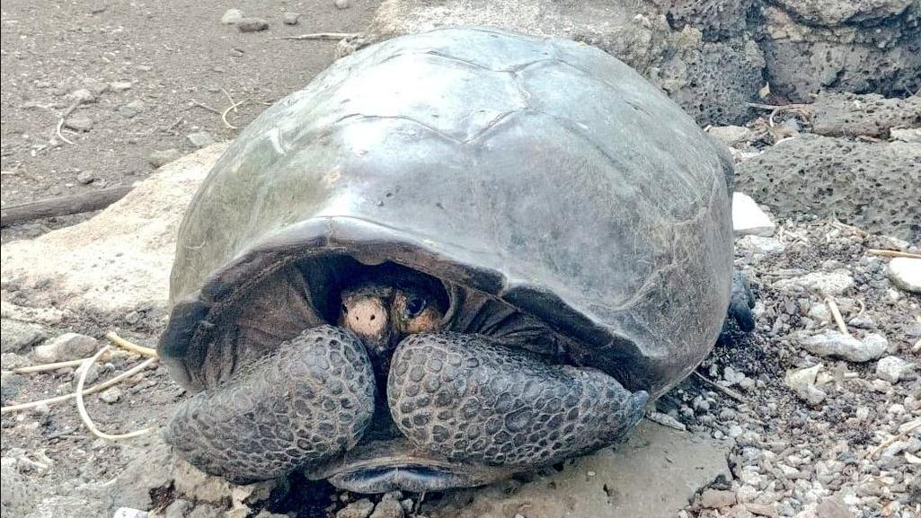 Diese Riesenschildkröte galt als ausgestorben. Jetzt ist sie wieder aufgetaucht.