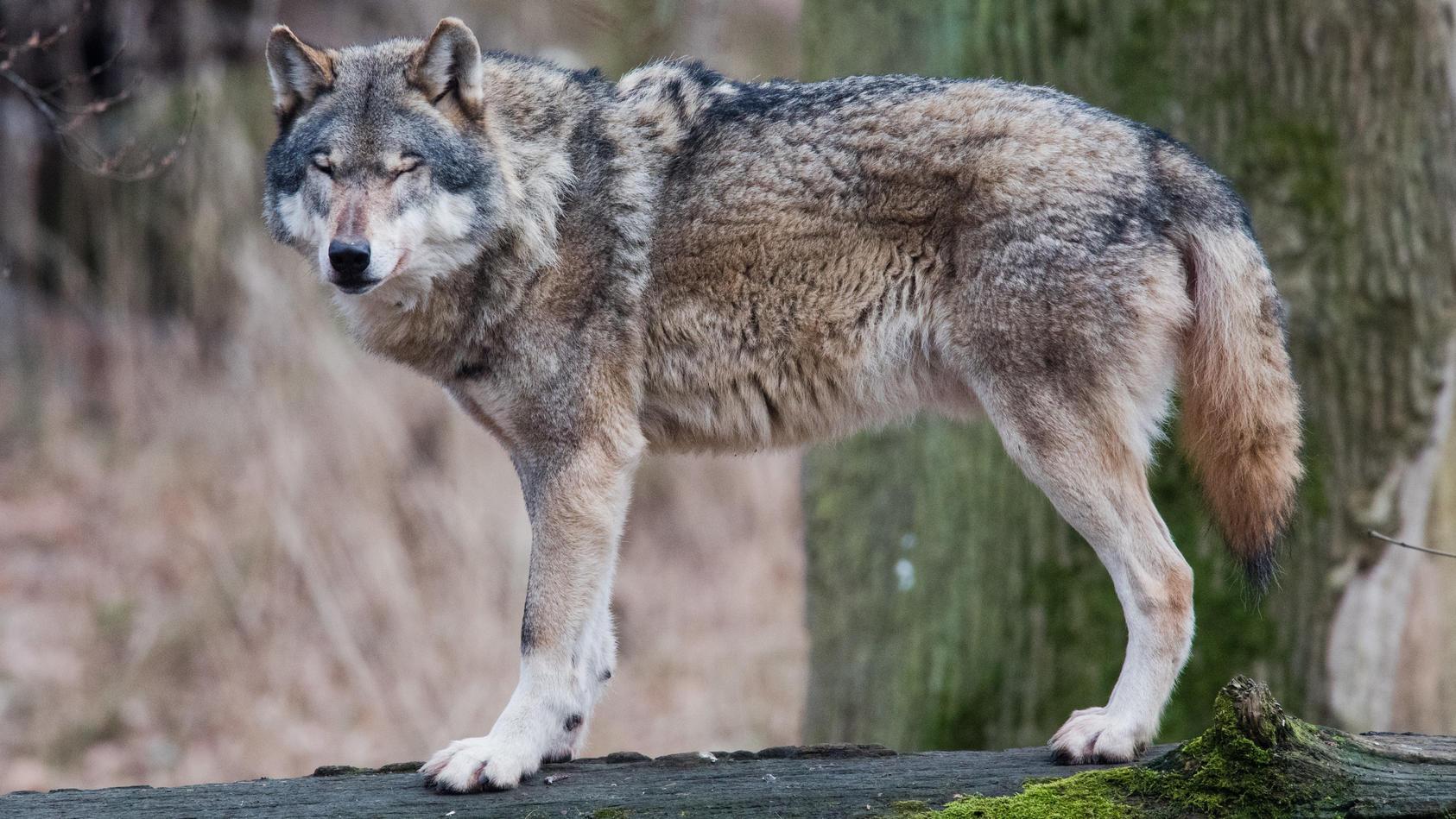 Wölfe sollen die neun Schafe in Traunstein und Kössen gerissen haben.
