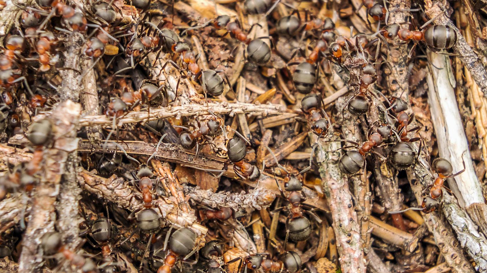 Ameisensäure ist eine stechend riechende Flüssigkeit bei Zimmertemperatur, die unter anderem in den Giftdrüsen von Ameisen, in Brennnesseln und in den Nesselkapseln der Hohltiere vorkommt.