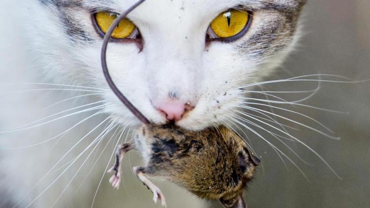 Biologen forschen - Schleppt Ihre Katze lebende Mäuse an? DAS will sie Ihnen sagen