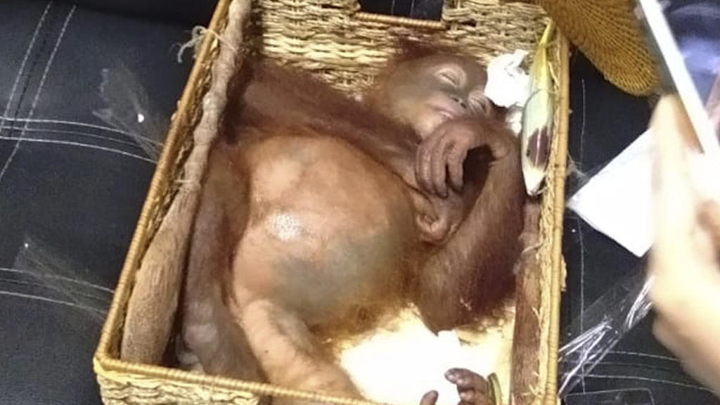 HANDOUT - 23.03.2019, Indonesien, Bali: Das von der Naturschutzbehörde Bali (BKSDA Bali) zur Verfügung gestellte Bild zeigt einen betäubten Orang-Utan, der angeblich von einem russischen Staatsangehörigen von der Insel geschmuggelt wurde. Auf der ind