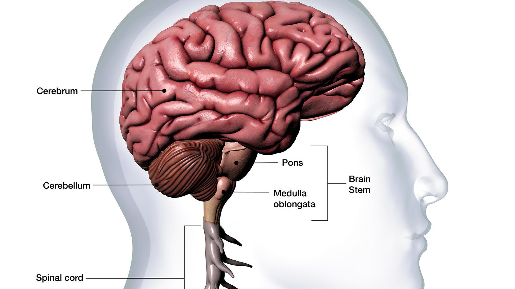 Das adrenocorticotrope Hormon (ACTH) ist ein lebenswichtiges Hormon, das Einfluss auf den Zucker-, Wasser- und Mineralstoffwechsel hat.