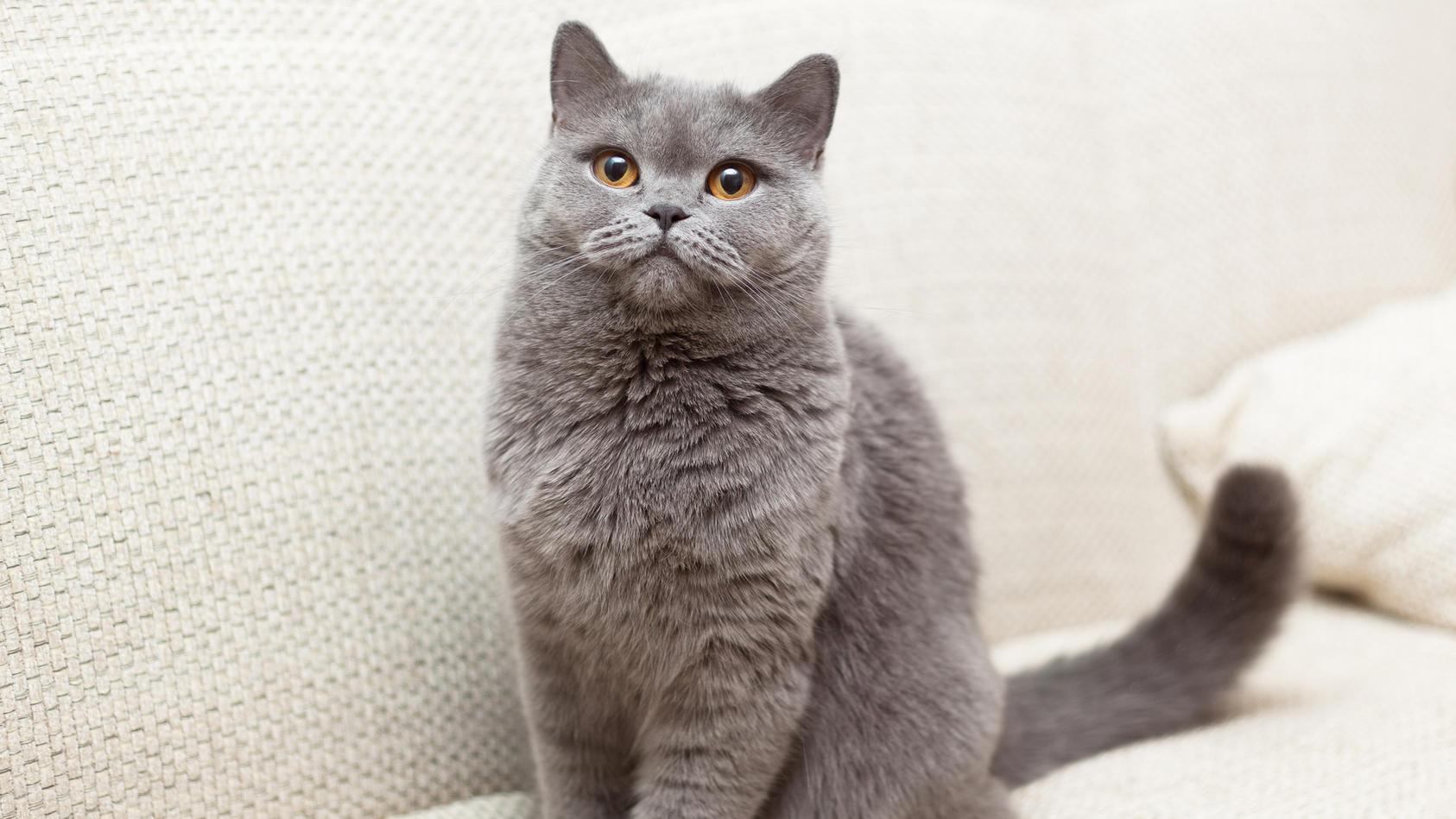 Die Katze mit den meisten Google-Suchanfragen ist die britische Kurzhaar-Katze.