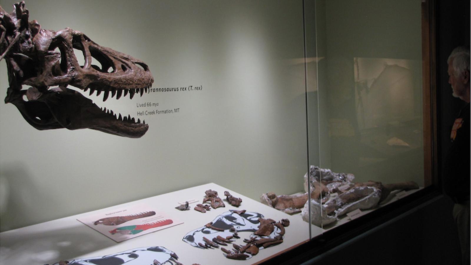 Knapp zwei Jahre wurde das Skelett bisher in einem Museum in den USA ausgestellt.