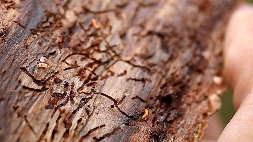 ARCHIV - 01.08.2018, Schleiden: Ein Ranger zeigt Spuren eines Borkenkäfers in der Baumrinde. In Hessens Wäldern hat der Kampf gegen die Borkenkäferplage begonnen. Foto: Oliver Berg/dpa +++ dpa-Bildfunk +++