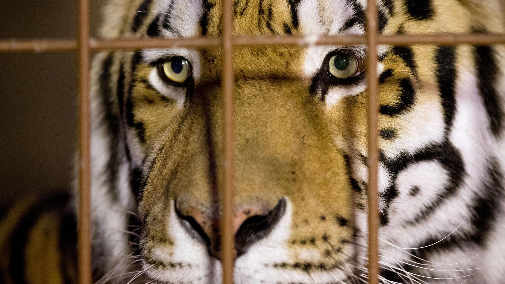 Tiger (Symbolbild)