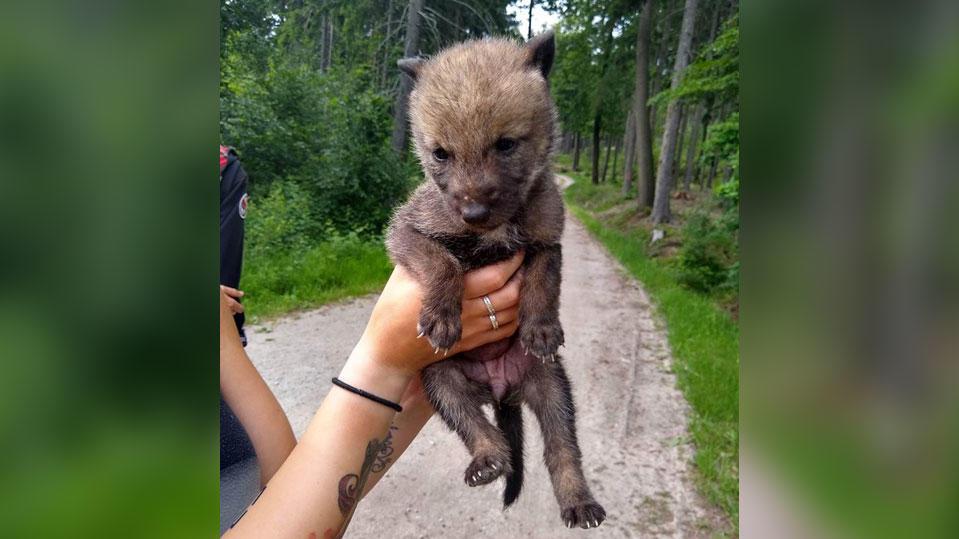Spaziergänger in Bautzen haben einen Wolfswelpen gefunden. (Foto: Facebook/Wolves Unlimited)