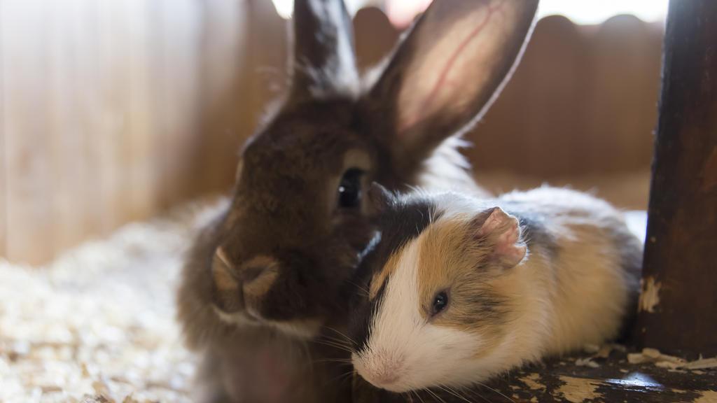 Kaninchen und Meerschweinchen im Käfig