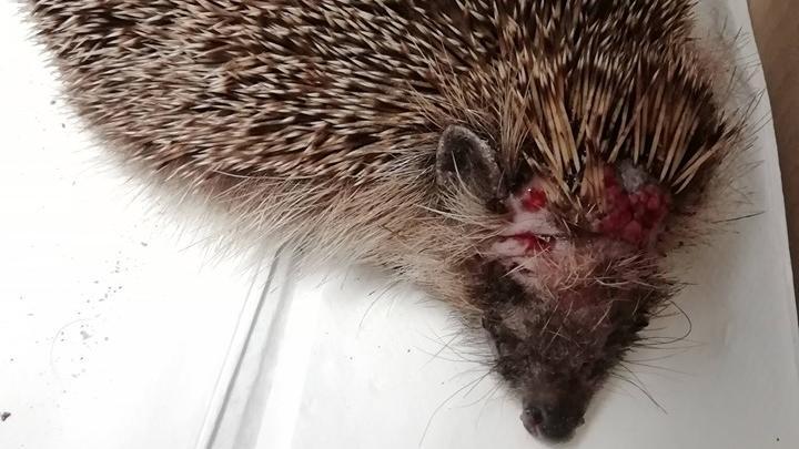 Nach Garten-Roboter-Unfall: Igel hat schwere Verletzungen
