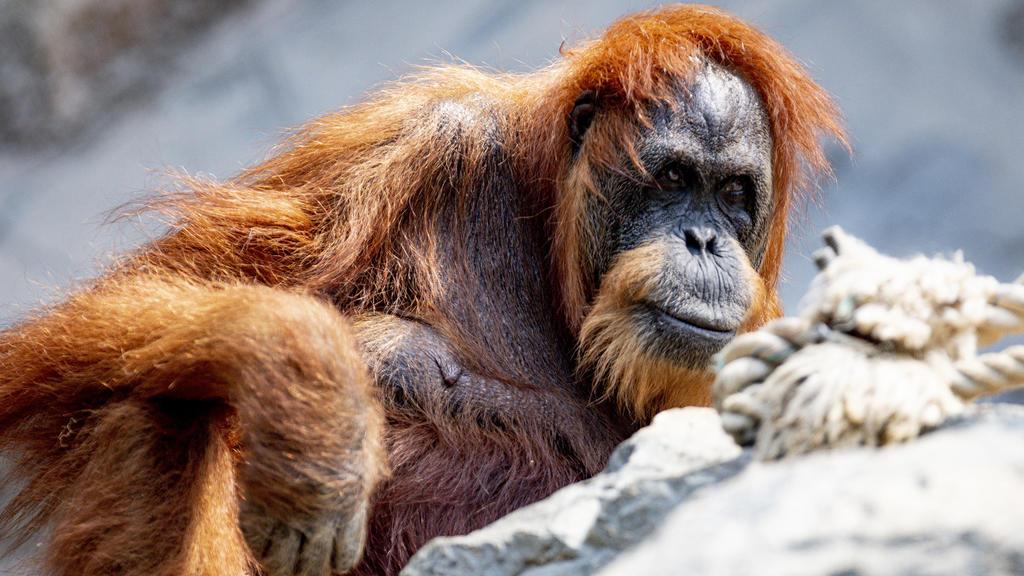 24.06.2019, Hamburg: Die 58-jährige Orang-Utan Dame Bella sitzt in ihrem Gehege im Tierpark Hagenbeck. Die rothaarige Bella gilt dem Hamburger Tierpark zufolge als der wohl älteste Orang-Utan der Welt. Foto: Axel Heimken/dpa +++ dpa-Bildfunk +++