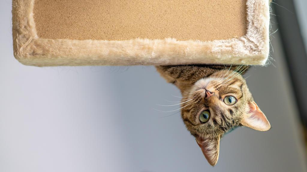 Katze spielt auf ihrem Kratzbaum.