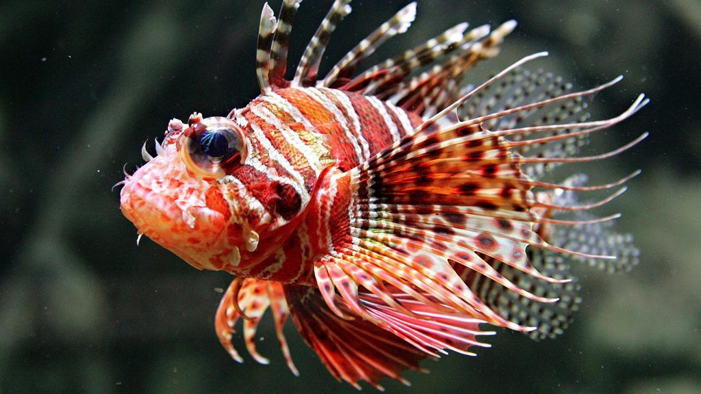 Feuerfische sind eine Plage im Mittelmeer