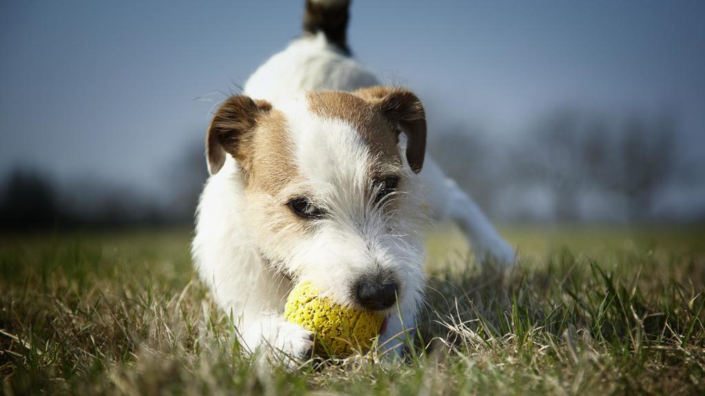 Jack Russel Terrier spielt mit einem Ball