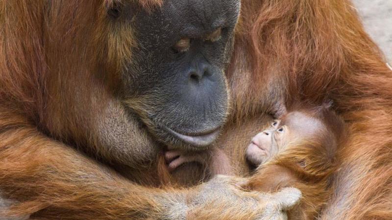 Die Orang-Utan-Dame Pini mit ihrem neugeborenen Orang-Utan-Mädchen. Foto: Zoo Leipzig