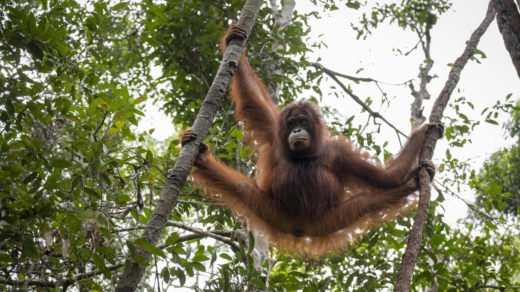 Der Lebensraum der Orang-Utans schwindet vor allem wegen riesiger Palmölplantagen rasant.