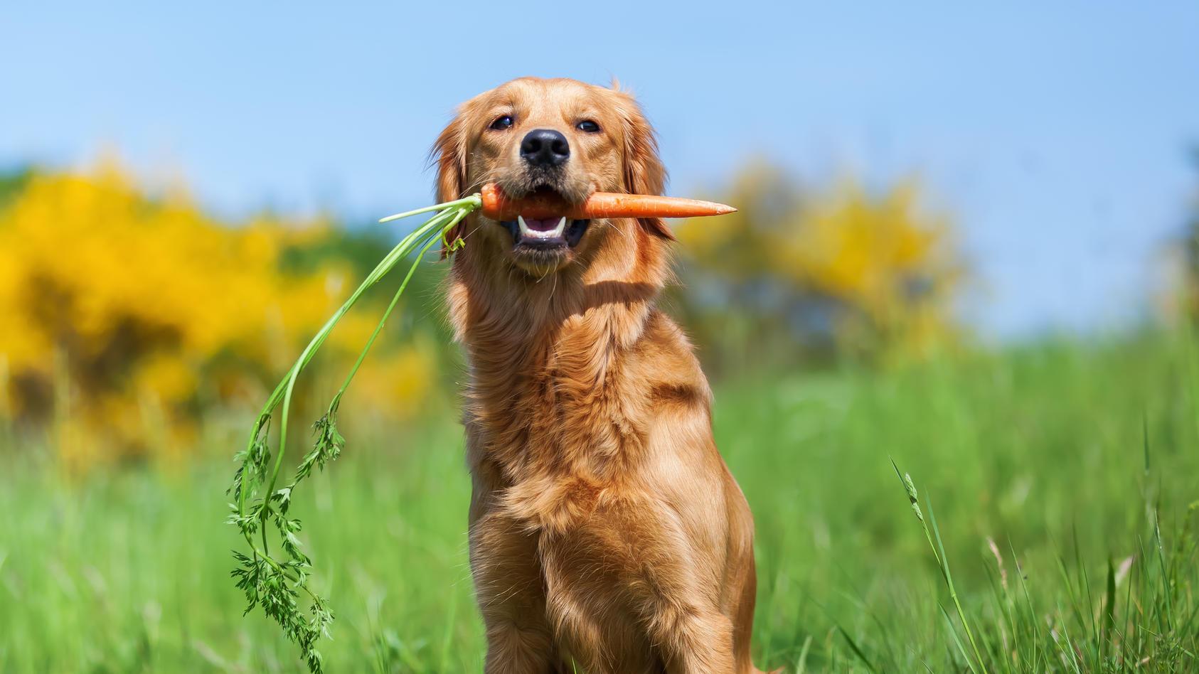 Wer zum Vegetarier oder Veganer wird, möchte auch, dass das Haustier die Ernährungsweise übernimmt. Doch ist das überhaupt gesund für Hunde?