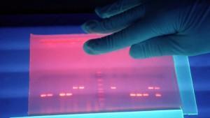 Untersuchung von fluoreszierender DNS von EHEC-Bakterien in einem Labor.