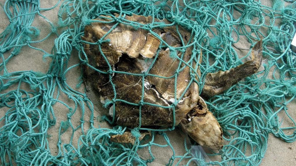 verweste Schildkröte