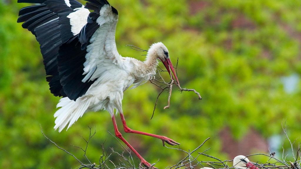 Ein Storch kommt am Dienstag (11.05.2010) im südbrandenburgischen Vetschau mit Nistmaterial zurück, während das andere Elterntier im Nest die Jungtiere wärmt. Die Internetstörche Chico und Luna in Vetschau haben Nachwuchs bekommen: Die ersten beiden