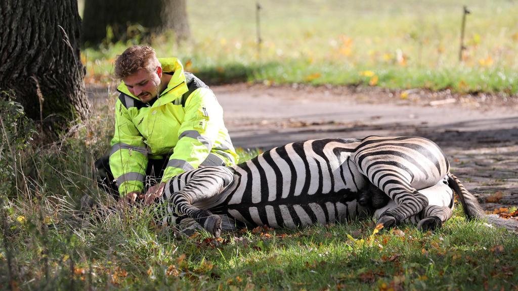 02.10.2019, Mecklenburg-Vorpommern, Liepen: Angelo Madel, Zirkus-Dompteur, kniet neben dem toten Zebra Pumba. Das Zebra war ausgebrochen und nach einer stundenlangen Verfolgungsjagd von Einsatzkräften erschossen worden. Eigentlich sollte das Zebra Pu